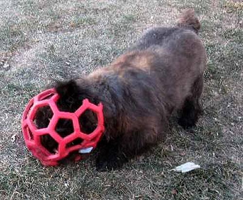 Most Inspiring Cairn Terrier Ball Adorable Dog - strange  HD_37682  .jpg