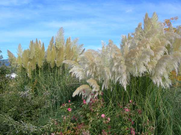 how to cut down pampas grass