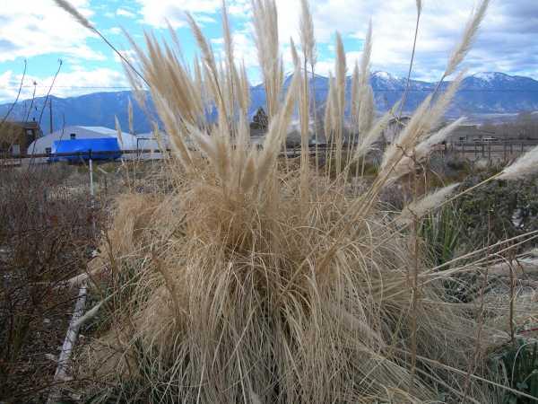 maintaining pampas type grasses. Black Bedroom Furniture Sets. Home Design Ideas